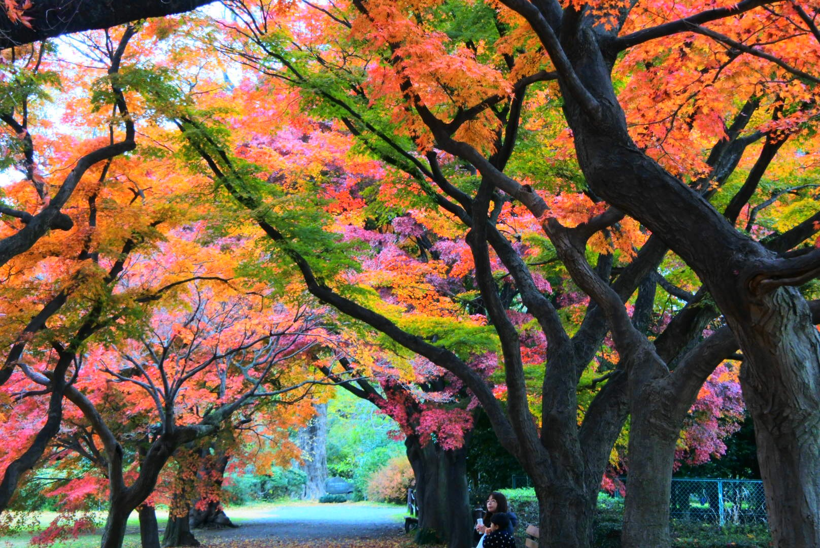 HitotsubashiICS_Foliage1